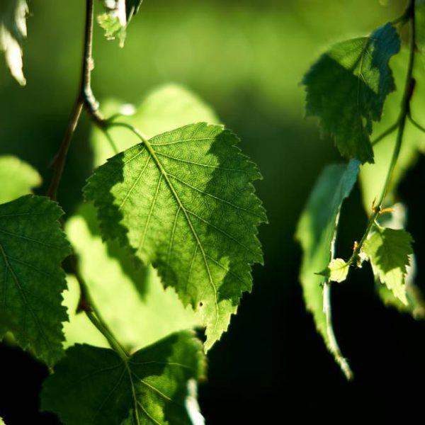 برگ انگور