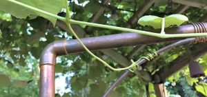 داربست درخت انگور